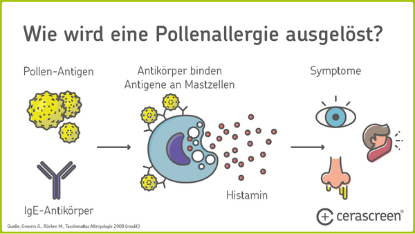 Pollenallergie Reaktion des Immunsystems