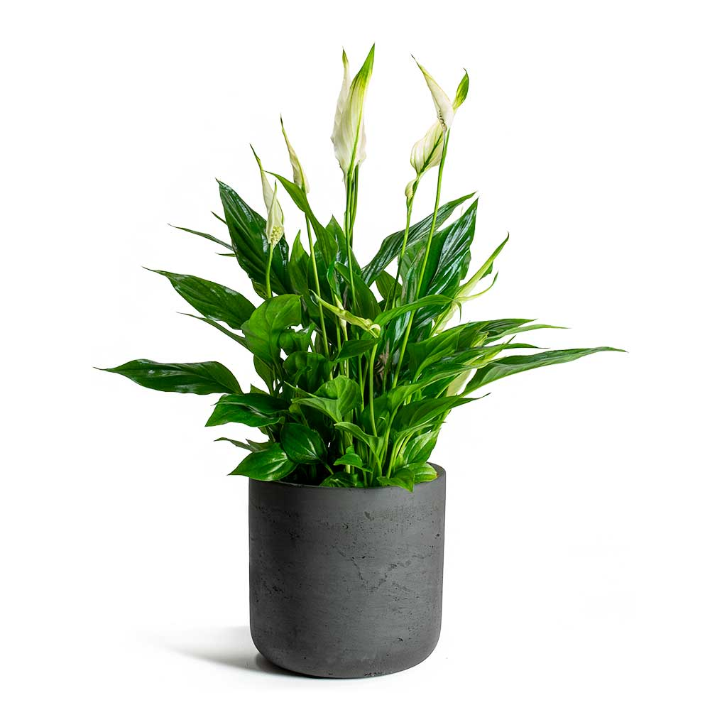 Peace Lily Houseplant in Black Charlie Plant Pot