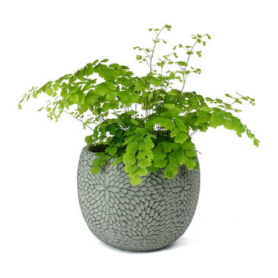 Adiantum Fragrans Delta Maidenhair Fern & Mick Plant Pot Mint