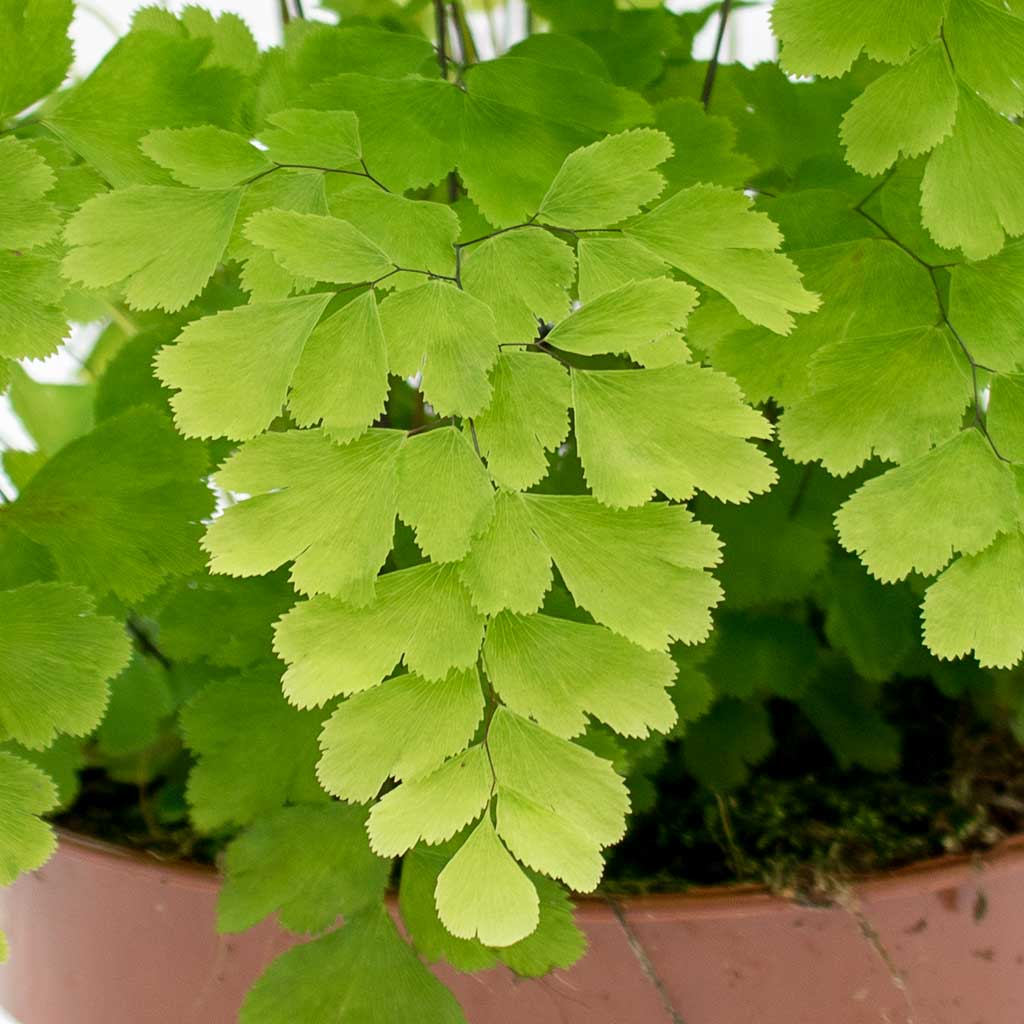 """Picture of Live Maidenhair aka Adiantum Plant Fit 4"""" Pot"""