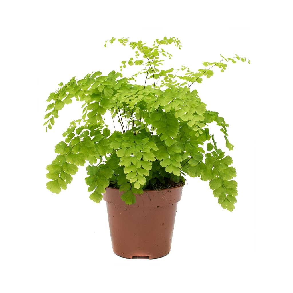 Adiantum Fragrans - Delta Maidenhair Fern 12 x 30cm