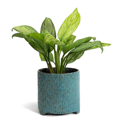 Aglaonema Christina Chinese Evergreen & Carice Plant Pot Blue