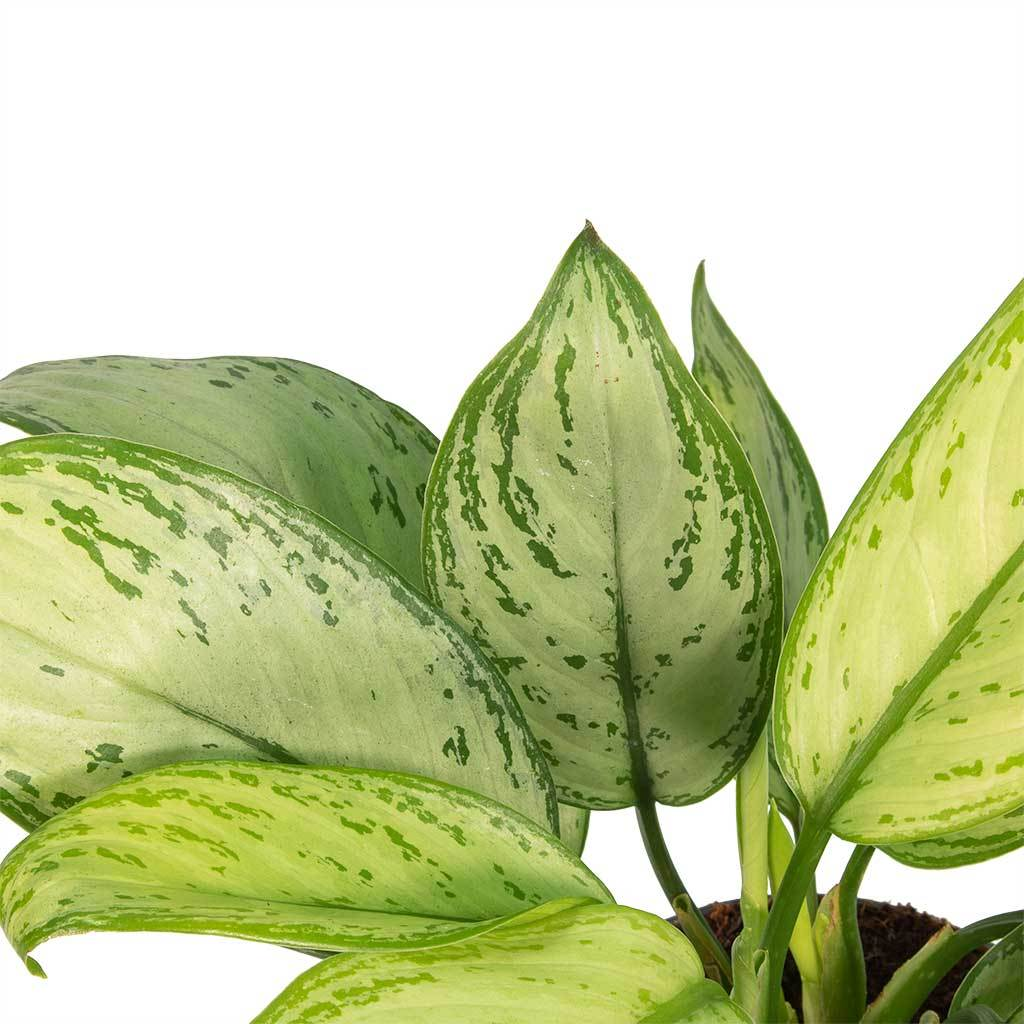 Aglaonema Christina - Chinese Evergreen
