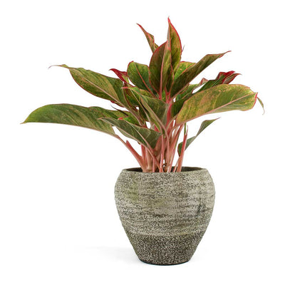 Aglaonema Crete Chinese Evergreen & Boaz Plant Pot Vintage