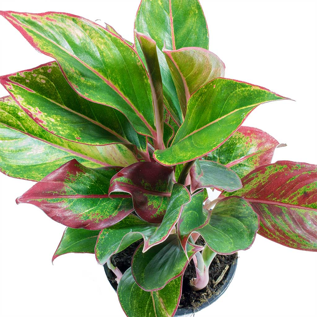 Aglaonema Crete - Chinese Evergreen Indoor Plant