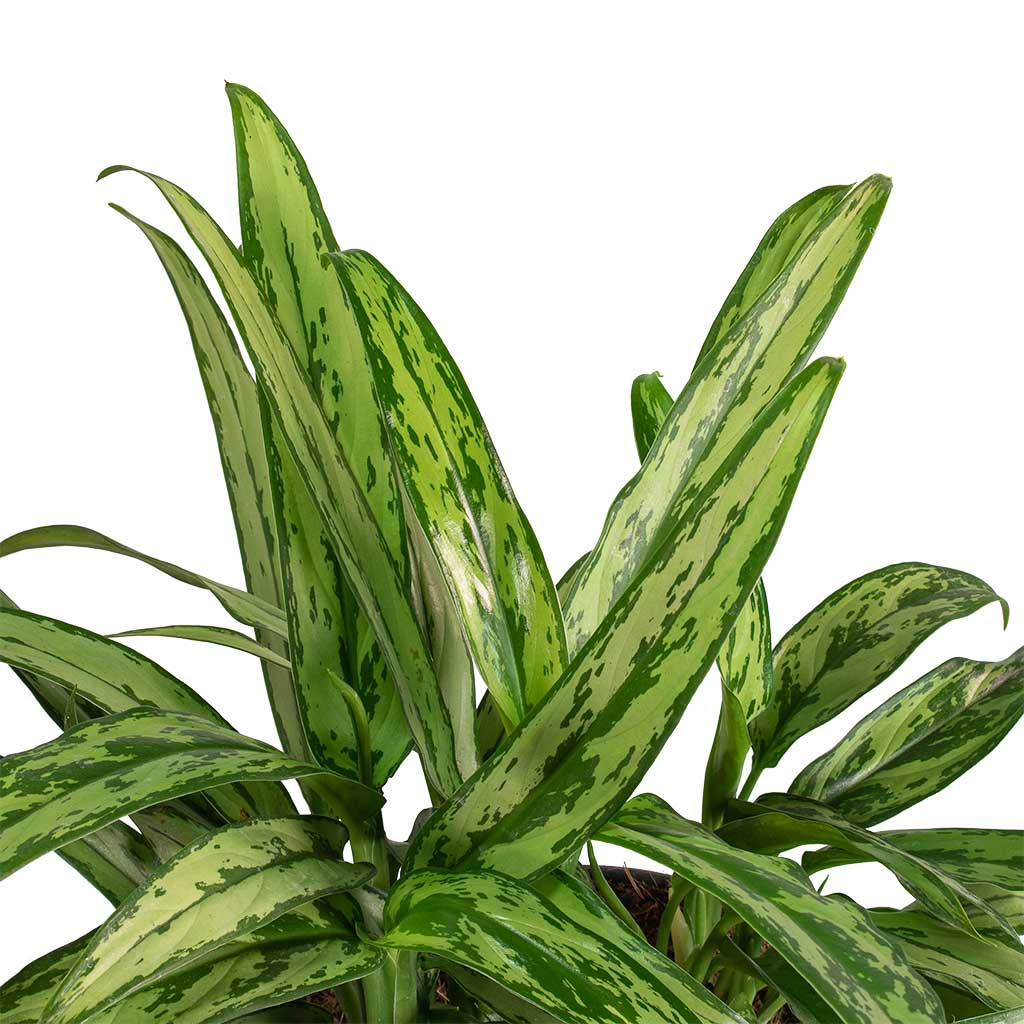 Aglaonema Cutlass - Chinese Evergreen Houseplant