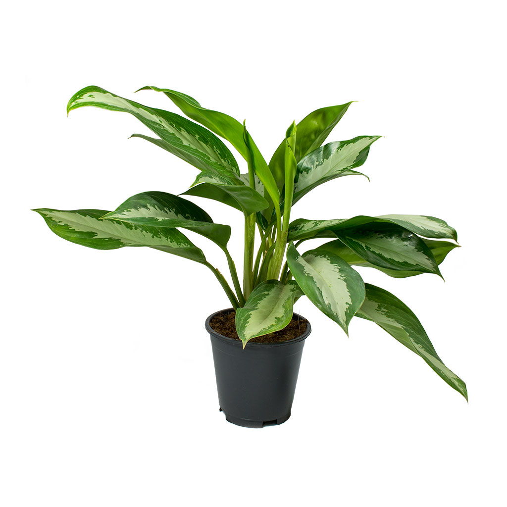 Aglaonema Diamond Bay - Chinese Evergreen 55cm