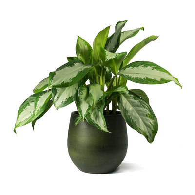 Aglaonema Diamond Bay Chinese Evergreen & Esra Plant Pot Dark Green