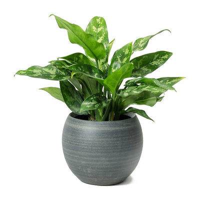 Aglaonema Maria Chinese Evergreen & Cresta Plant Pot Matt Grey
