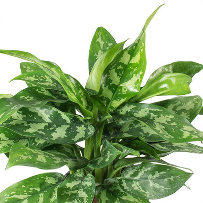 Aglaonema Maria - Chinese Evergreen Leaves