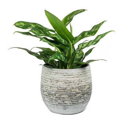 Aglaonema Maria Chinese Evergreen & Stijn Plant Pot Grey