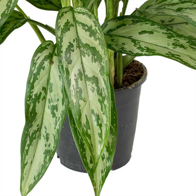 Aglaonema Silver Queen - Chinese Evergreen Leaves
