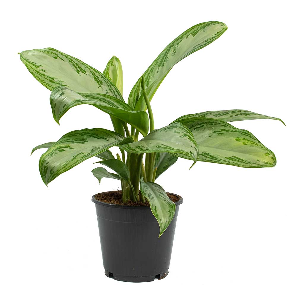 Aglaonema Silver Bay Chinese Evergreen Houseplant