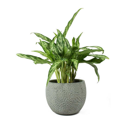 Aglaonema Silver Queen - Chinese Evergreen & Mick Mint Plant Pot
