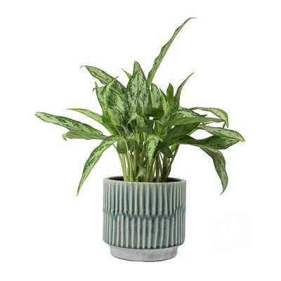 Aglaonema Silver Queen Chinese Evergreen & Onno Plant Pot