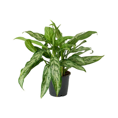 Aglaonema Silver Queen - Chinese Evergreen - Small