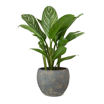 Aglaonema Stripes - Chinese Evergreen & Fay Plant Pot