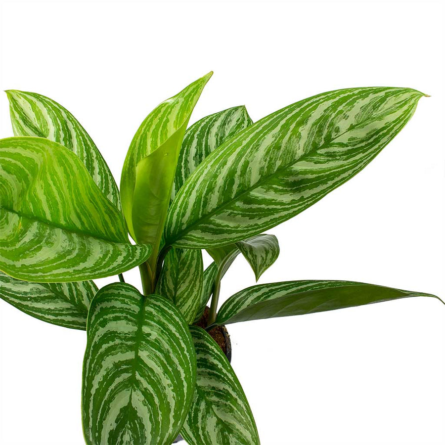 Aglaonema Stripes - Chinese Evergreen