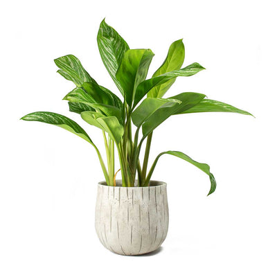 Aglaonema Stripes Chinese Evergreen & Sita Plant Pot Sand
