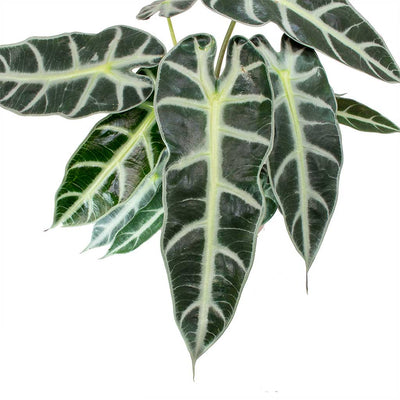 Alocasia Bambino Arrow - Jewel Alocasia Leaves