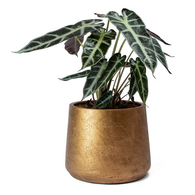 Patt Plant Pot - Metallic Copper & Alocasia Bambino Arrow