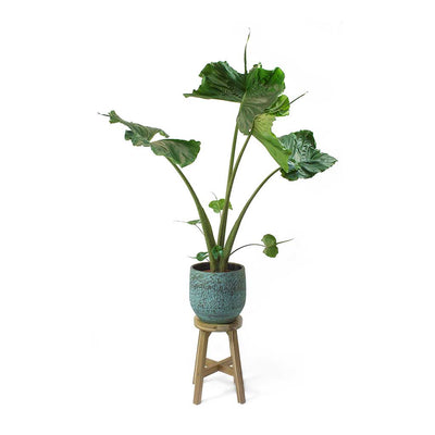 Alocasia Stingray - Elephant Ear & Evi Ancient Bronze Plant Pot