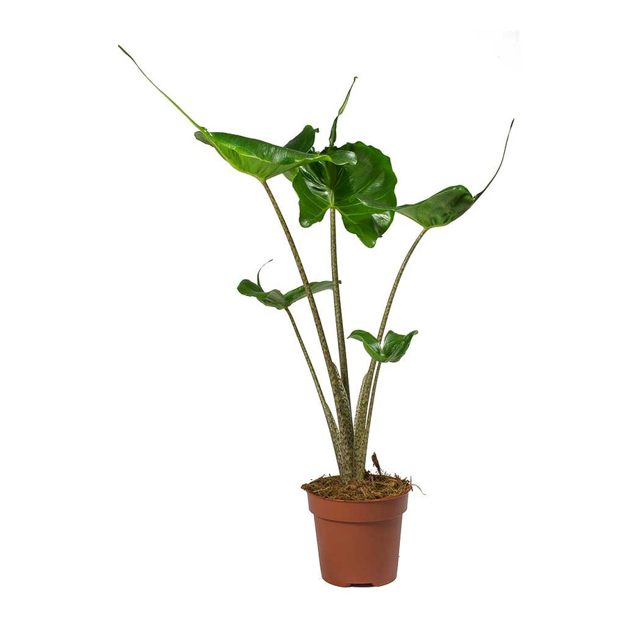 Alocasia Stingray - Elephant Ear