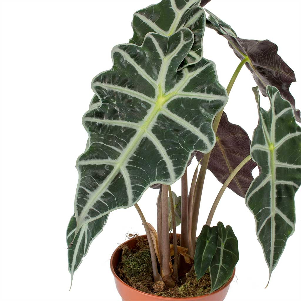 Alocasia amazonica Polly - Elephant Ear