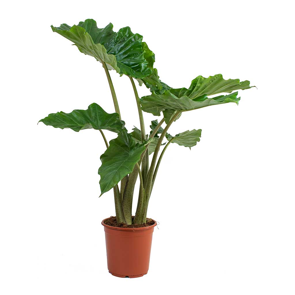 Alocasia portodora Tropical Houseplant