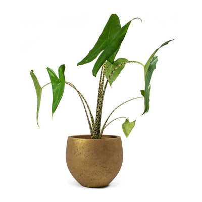 Alocasia zebrina Tiger Elephant Ear & Mini Orb Kevan Plant Pot Metallic Copper