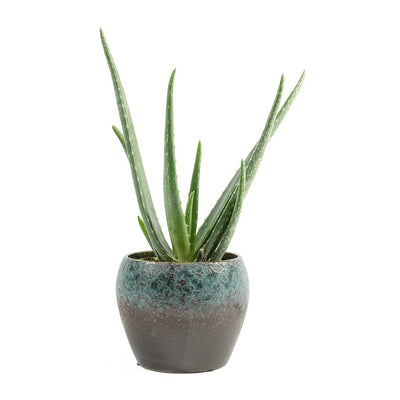 Aloe Vera & Liza Plant Pot Blue Black