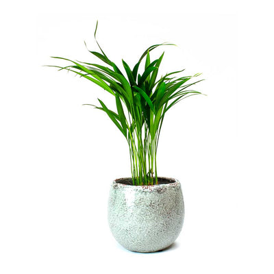 Kirsty Plant Pot - Ice Blue & Areca Palm