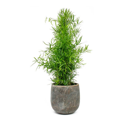 Asparagus falcatus - Sicklethorn & Amber Plant Pot - Earth