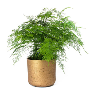Asparagus setaceus - Lace Fern & Charlie Metallic Copper Plant Pot