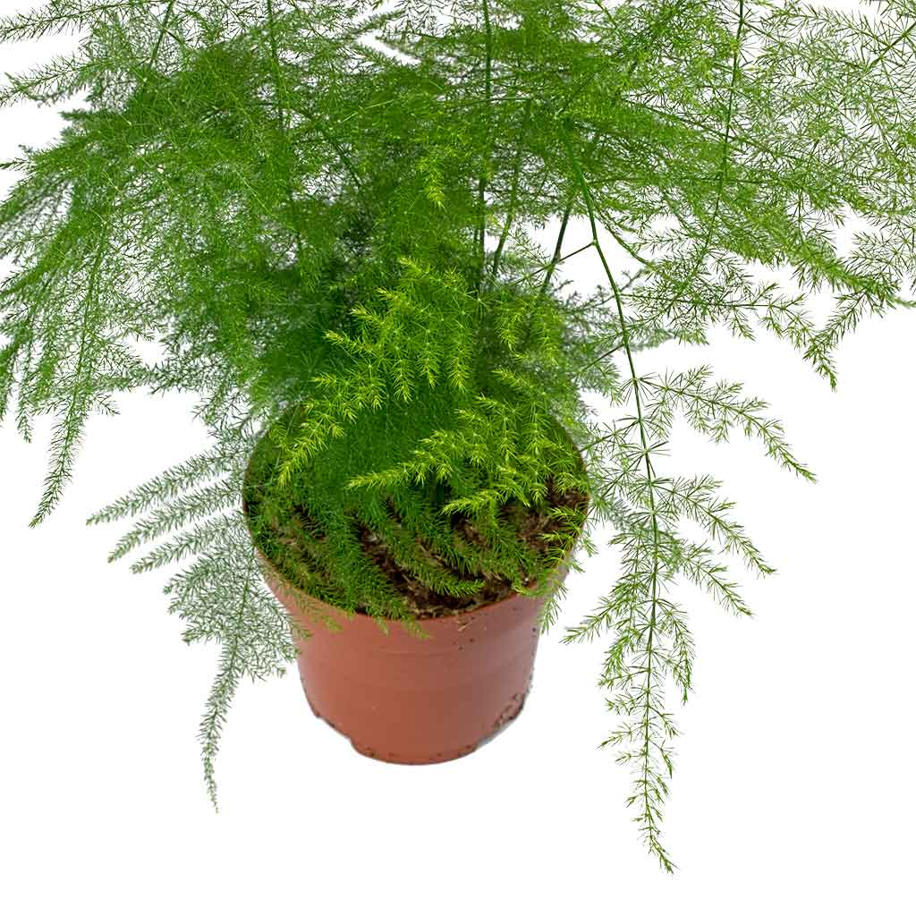 Asparagus Setaceus Lace Fern House Plants Hortology