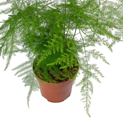 Asparagus setaceus - Lace Fern Leaves