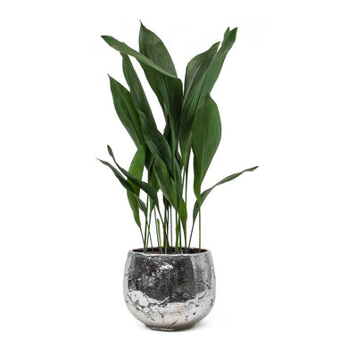 Aspidistra - Cast Iron Plant & Ancient Chrome Plant Pot