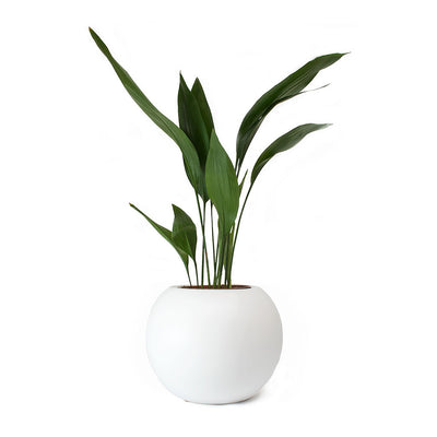 Aspidistra - Cast Iron Plant & Beth Ball Planter Matt White