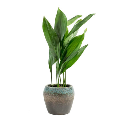 Aspidistra Cast Iron Plant & Liza Plant Pot Blue Black