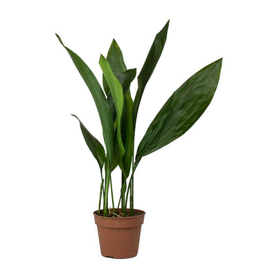 Aspidistra - Cast Iron Plant Small