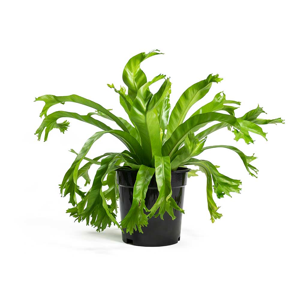 Asplenium Crissie Amy Birds Nest Fern Large