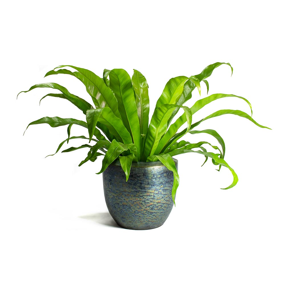 Asplenium Hurricane - Twisted Bird's Nest Fern