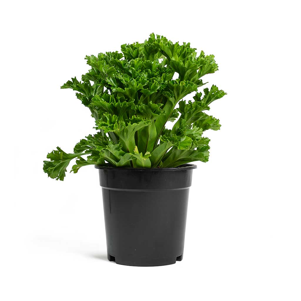 Asplenium Leslie Crested Birds Nest Fern - Large