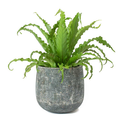 Asplenium Osaka - Japanese Bird's Nest Fern & Amber Earth Plant Pot