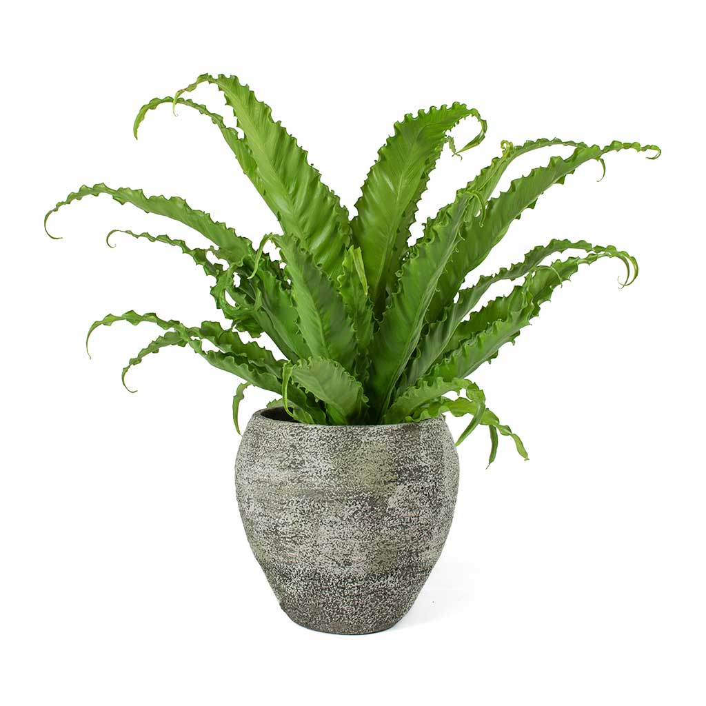 "Picture of Live Japanese Birdsnest Fern aka Asplenium Osaka Plant Fit 4"" Pot"