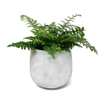 Asplenium Parvati Mother Fern & Amber Plant Pot Light Grey