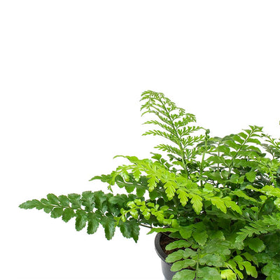 Asplenium Parvati - Mother Fern Fronds