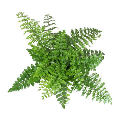 Asplenium Parvati - Mother Fern Leaves