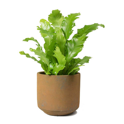 Asplenium nidus Campio - Champion's Bird's Nest Fern & Saar Rust Cement Plant Pot