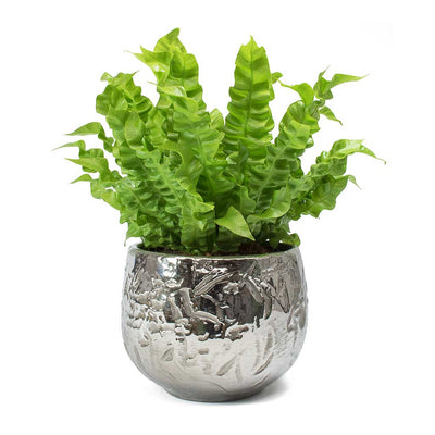 Asplenium nidus Crispy Wave - Pleated Bird's Nest Fern & Ancient Chrome Plant Pot